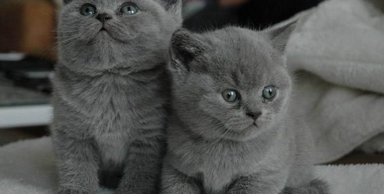 Британские котята после рождения. сколько весит новорожденных котенок? британские кошки бывают серебристые или нет