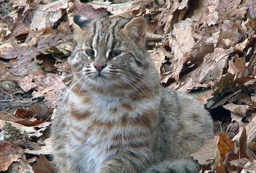 Дальневосточный лесной кот (амурский): как выглядит, фото, среда обитания, содержание в неволе