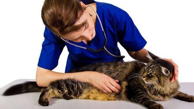 Лечение колита кишечника у кошек - муркин дом