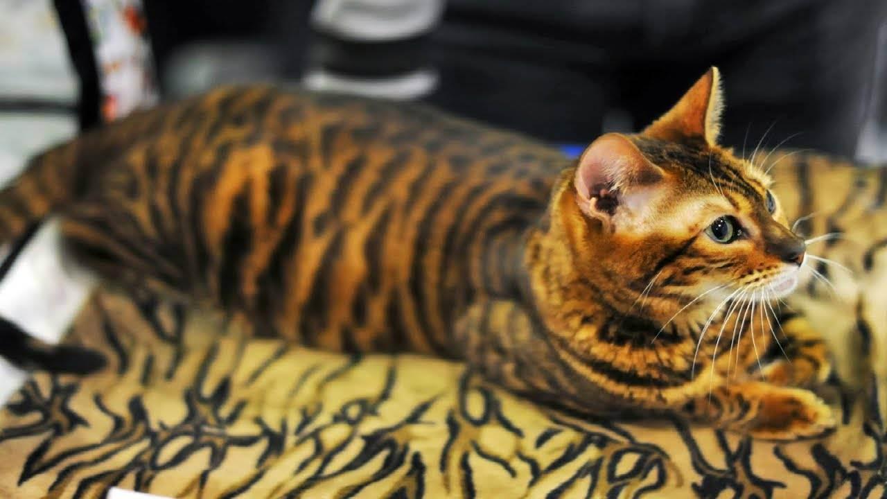 Породы домашних кошек, похожих на своих диких собратьев