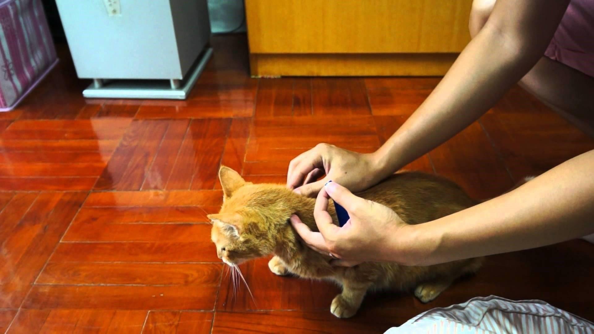 Блохи у кота – что делать и как вывести самостоятельно, способы и средства