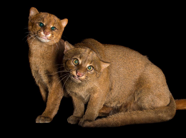 Семейство кошачьих — характеристика, представители, классификация и фото