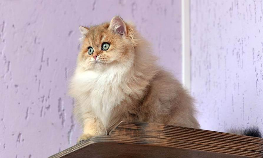 Британская длинношерстная кошка — описание породы кошек