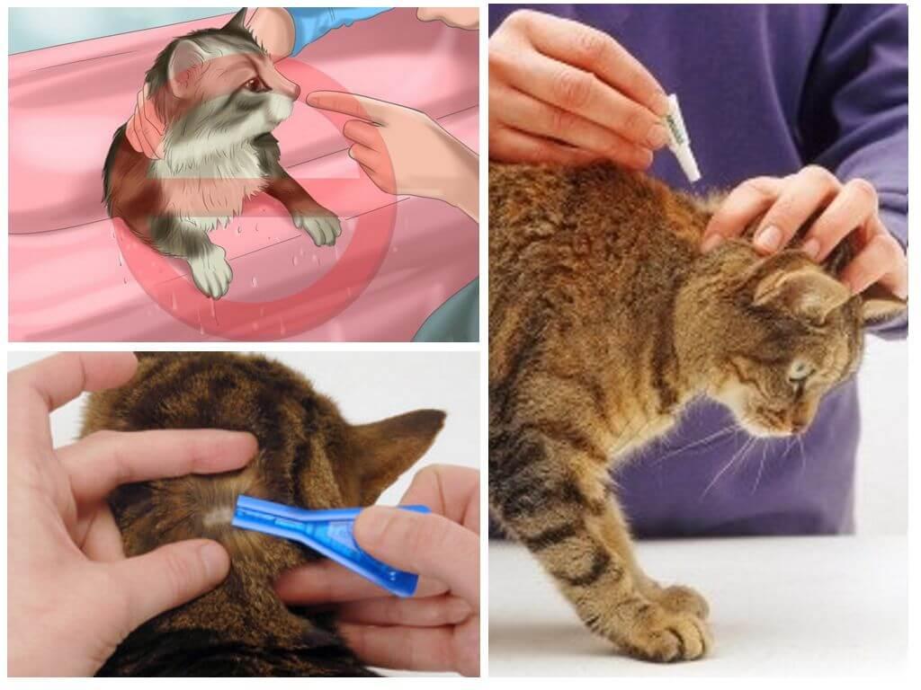 Как избавиться от блох кошачьих в квартире: эффективные способы борьбы с паразитами