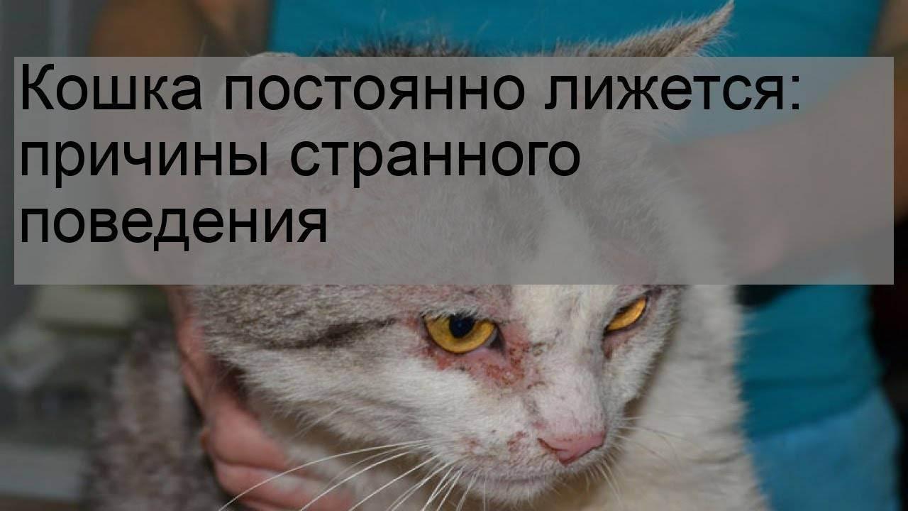 Кошка вылизывает шерсть