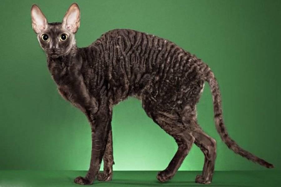 Кудрявая кошка — это стильно!