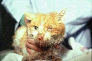 Авитаминоз у кошек лечение в домашних условиях