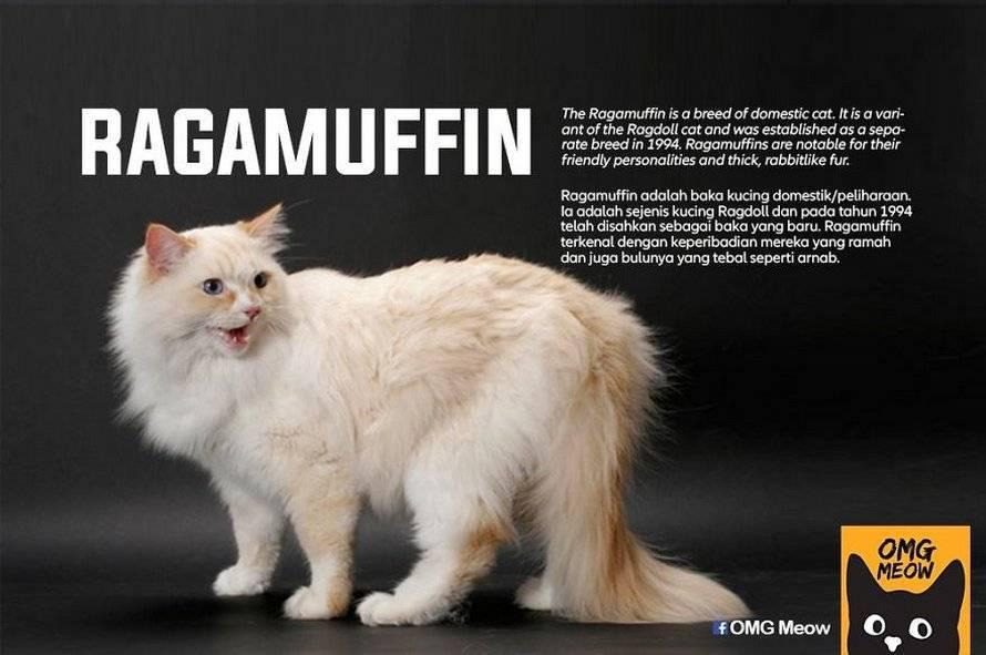 Кошка рагамаффин: описание породы и правила содержания