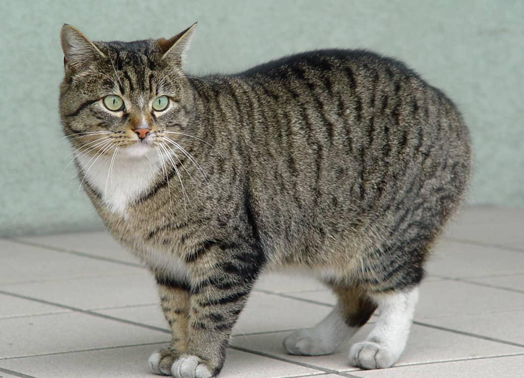 Короткошерстная шотландская кошка (34 фото): описание и стандарты породы. на что обратить внимание при выборе котенка? какие размеры имеет взрослый кот этой породы?