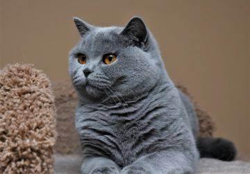 Британская кошка и беспородный котёнок