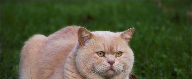 Что такое гипертрофическая кардиомиопатия у кошки и способы ее лечения