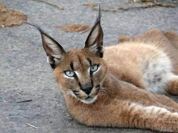 Обзор 5 пород кошек с кисточками на ушах