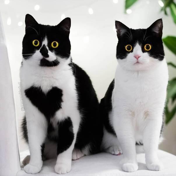 Какие породы кошек имеют черно-белый окрас с светлыми грудками и лапками