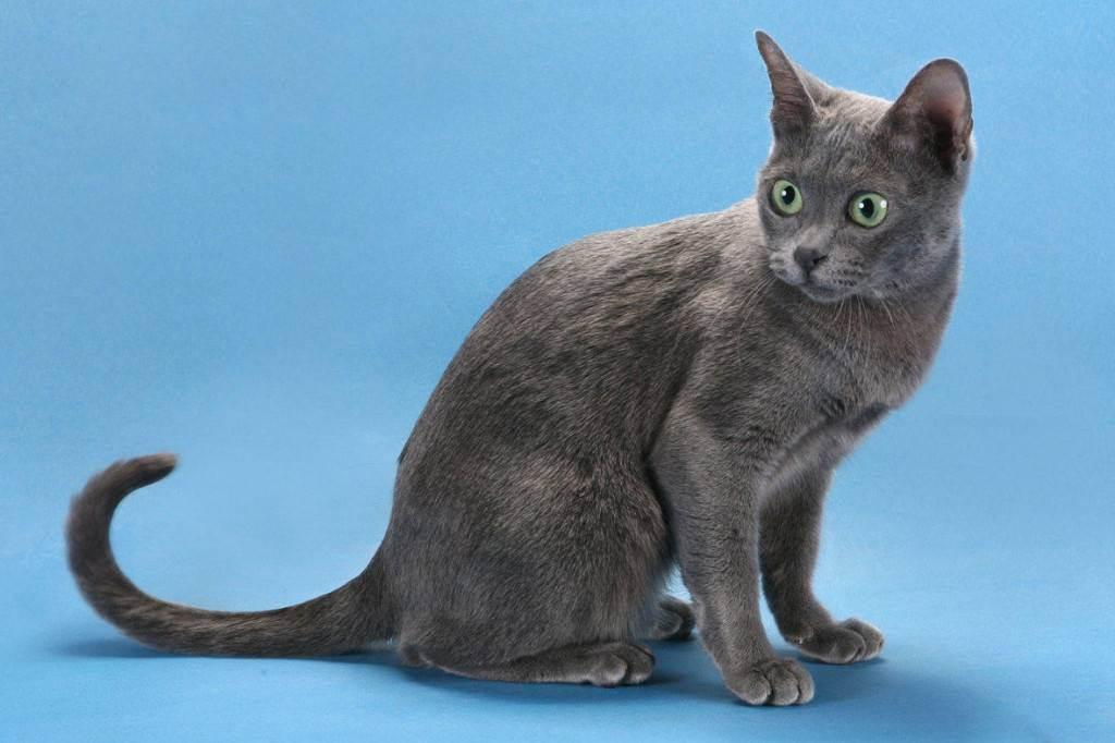 Корат – кошка родом из таиланда, описание породы, внешний вид и характер, уход и кормление