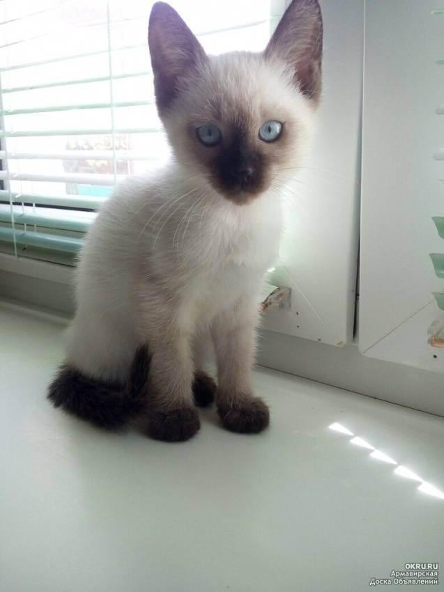 Сиамская кошка цена. цены на котят породы сиамская кошка: в россии, украине, в москве