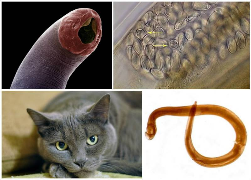 Глисты у кошек - признаки и симптомы, лечение и народные средства
