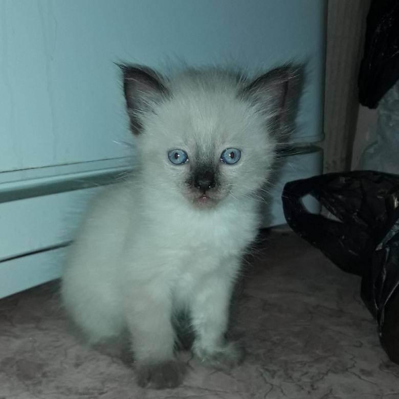 Сколько стоит русская голубая кошка. цена котенка породы русская голубая