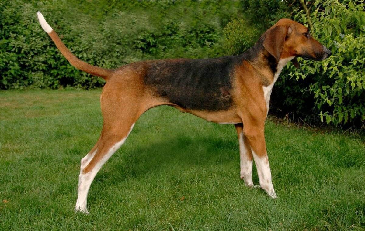 Топ-42 гончих пород собак