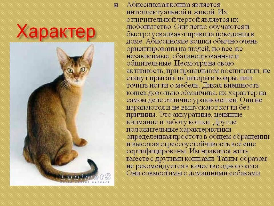 Абиссинская кошка: описание породы и уход