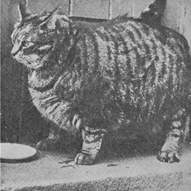 Самые большие коты всего мира