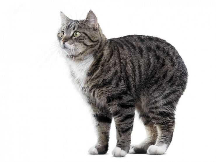 Кошки породы мэнкс ~ коточек