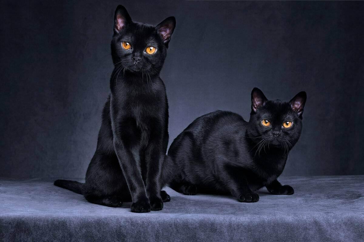 Бомбейская кошка (бомбей) - фото, цена котенка, описание характера и внешнего вида