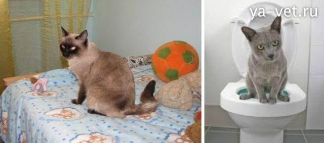 Кот писает кровью: как помочь в домашних условиях
