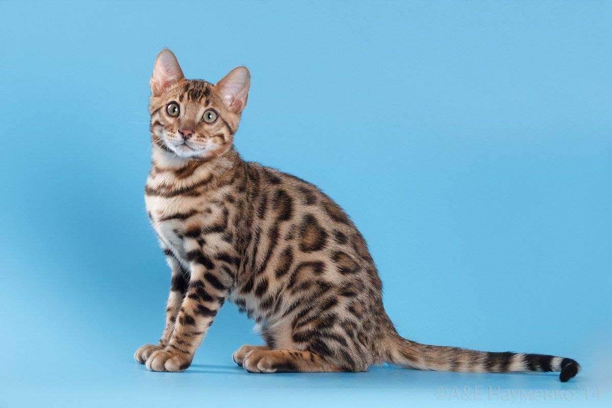 Бенгальская кошка (домашняя)