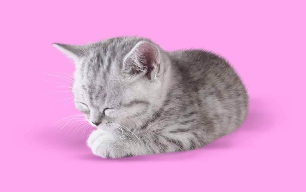 Какой породы кот из рекламы корма «вискас»: название, характерный окрас – цвет шерсти и рисунок – с фото