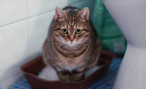 У кота недержание кала что делать. у шотландской или британской кошки понос: причины и лечение
