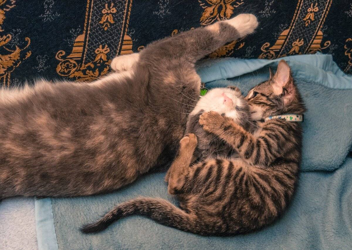 Две кошки в доме: как подружить, ужиться, примирить