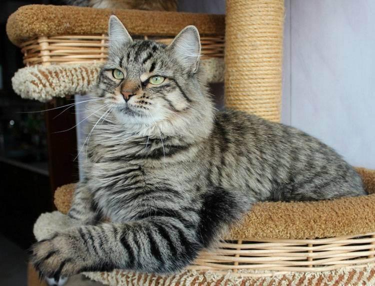 Полосатые кошки: обзор пород