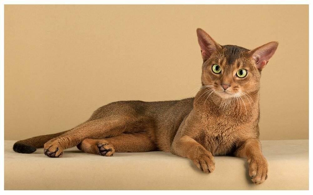 Самые дорогие кошки (55 фото): дорогостоящие породы котов с названиями, топ-10 самых дорогих котят в мире, редкие домашние кошки