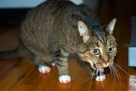 Рвет кота - запись пользователя ♛анна♛ (seledo4ka) в сообществе домашние животные в категории болезни любимцев - babyblog.ru