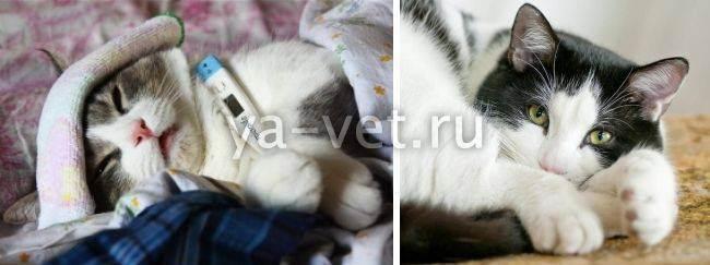 Насморк у кошки: симптомы и причины ринита, как и чем лечить кота