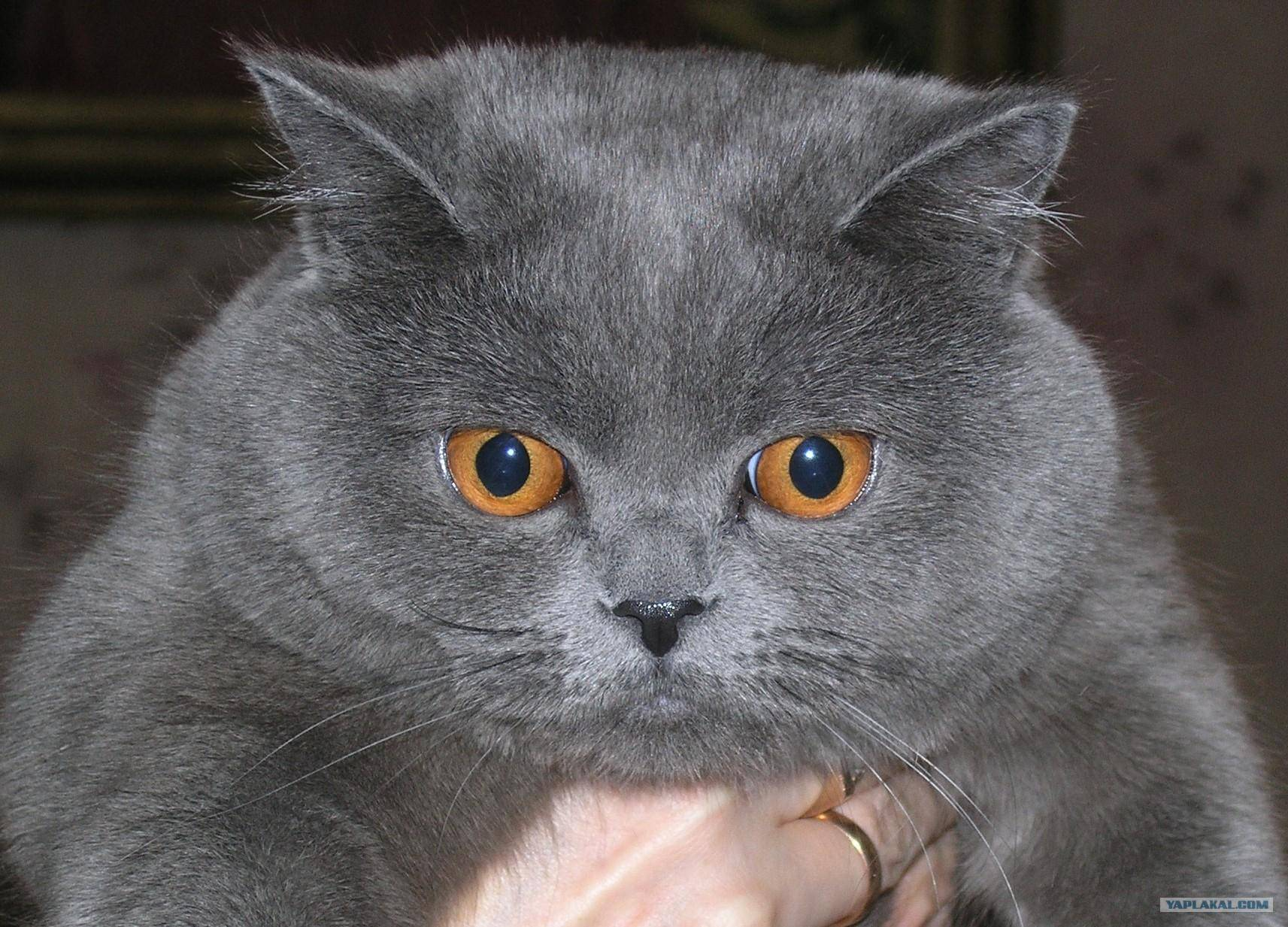 Клички для британских кошек и котов: где брать идеи?