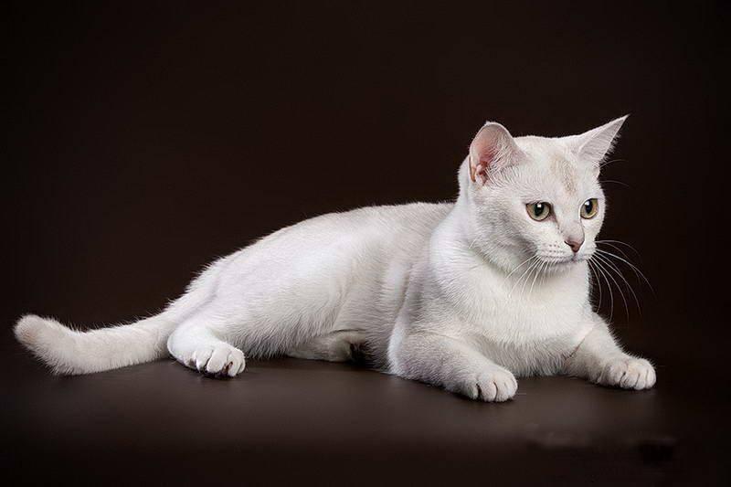 Бурмилла - фото и описание породы кошек (характер, уход и кормление)