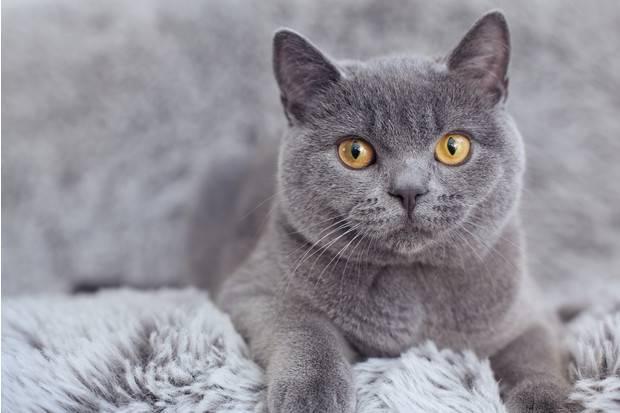 Вес британской кошки таблица по возрасту