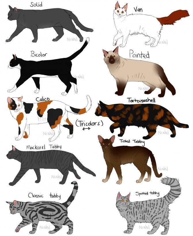 Окрасы шотландских кошек: фото, описание, таблица и атлас окрасов