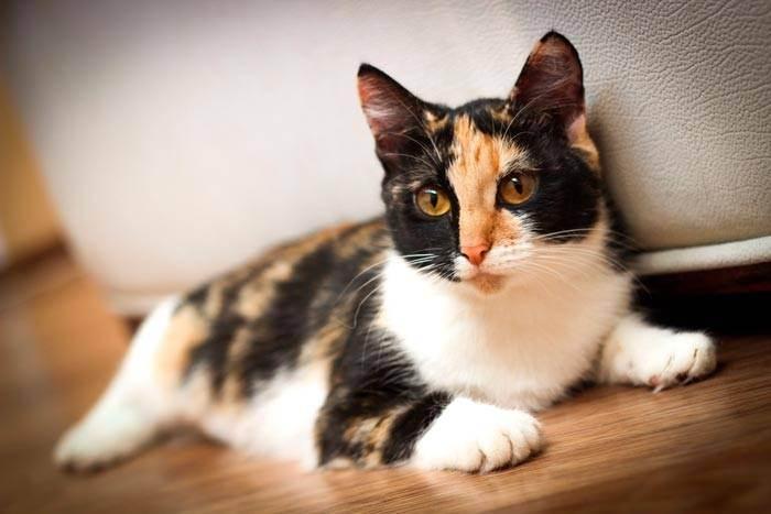 Трёхцветная кошка в доме: приметы и суеверия