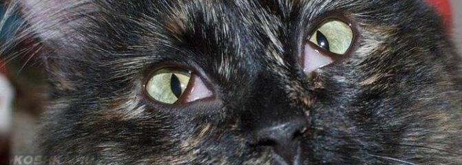 Третье веко у кошек: что это такое, фото, причины его воспаления (в том числе когда им закрываются глаза), лечение и профилактика