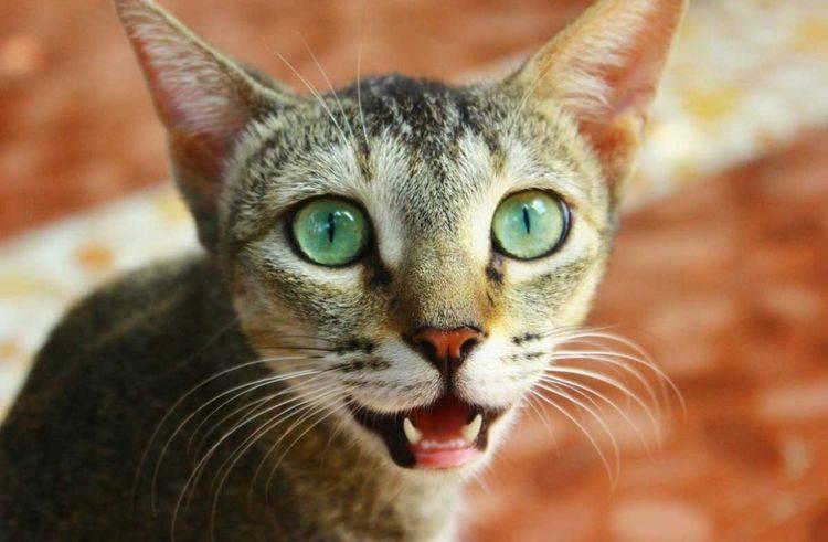 Причины высунутого языка у кошки и сопутствующие заболеваниям симптомы