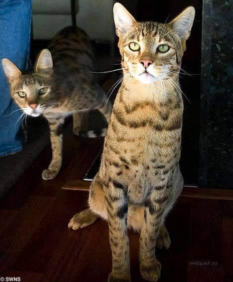 Топ самых дорогих кошек в мире