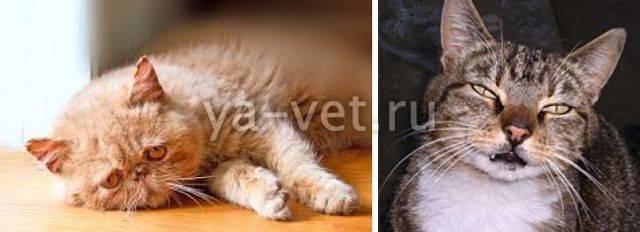 Что делать если у кошки началась эпилепсия? эпилепсия у кошек: симптомы и лечение может ли кошка умереть от эпилепсии