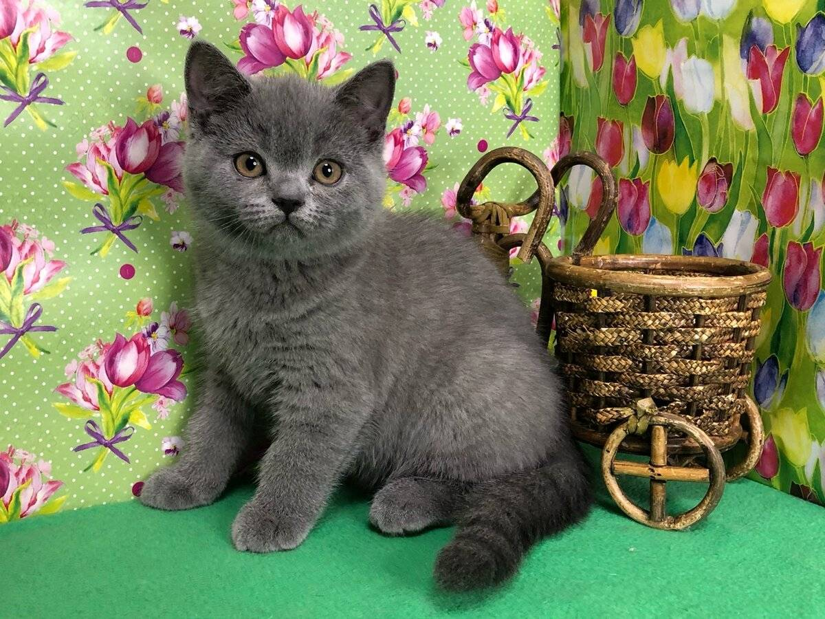 Британские котята — кормление, уход и воспитание