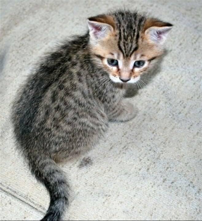 Серый кот: чем привлекает, популярные породы, особенности характера, приметы про серых котов
