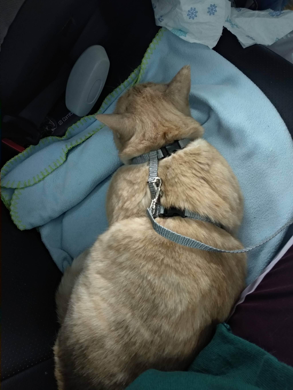 Как подготовить кошку к поездке на автомобиле: основные правила