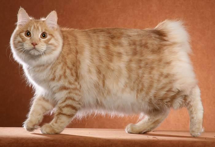 Кошки с длинными ушами и кисточками порода, большими лапами и мордой фото, рыжие, цена