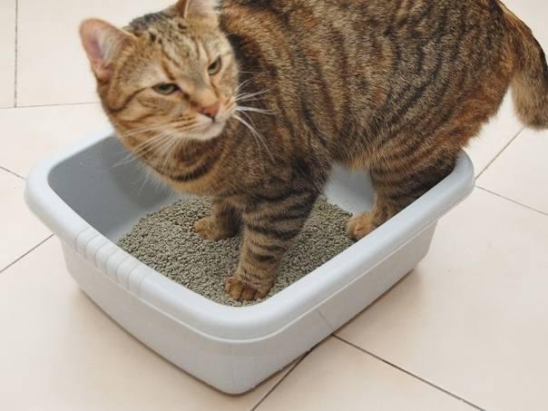 Почему кот не может сходить в туалет по маленькому
