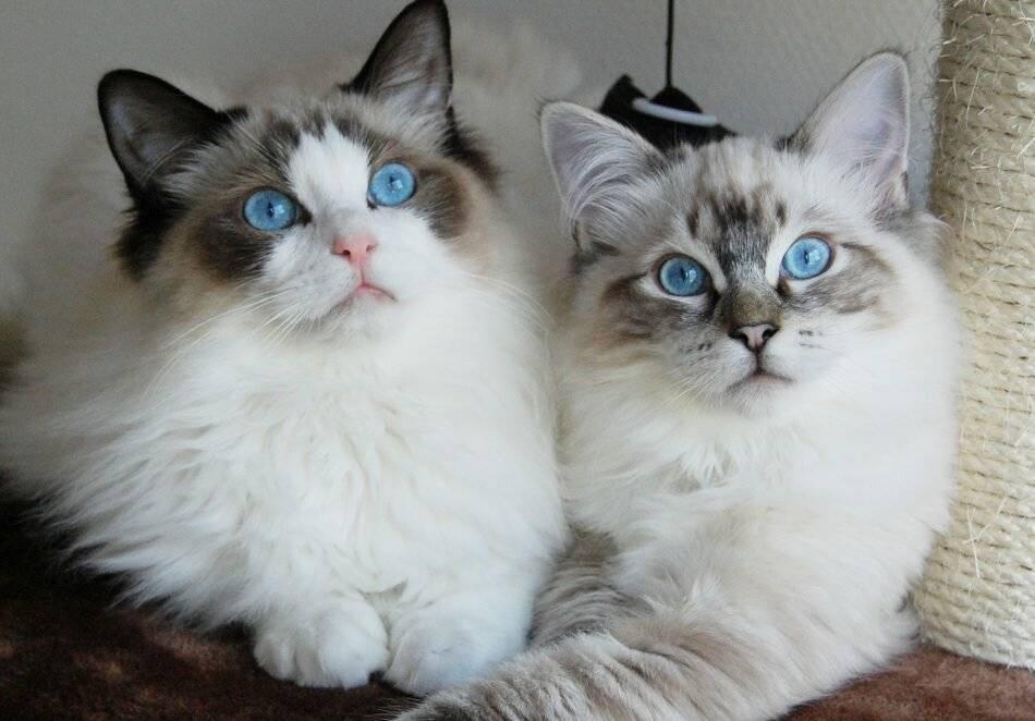 8 самых добрых пород кошек
